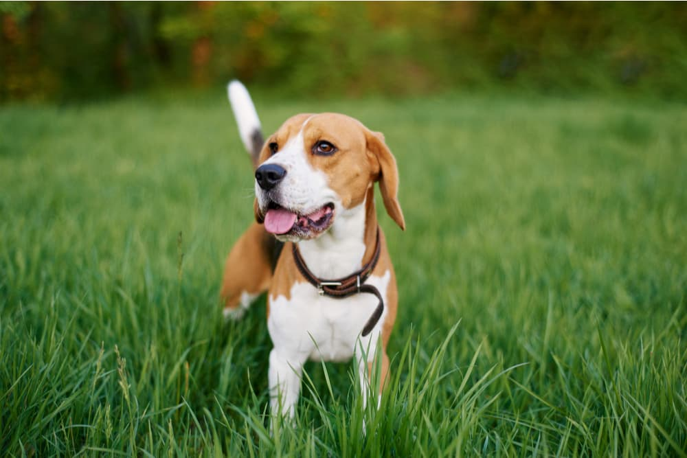 Beagle standing in a field