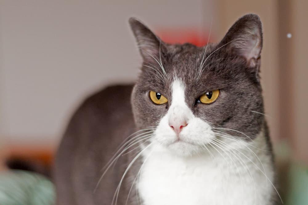 Cat looking grumpy