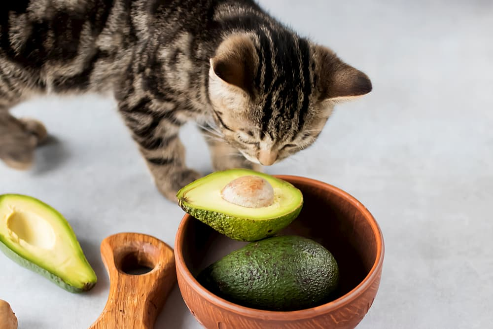 Can Cats Eat Avocado?