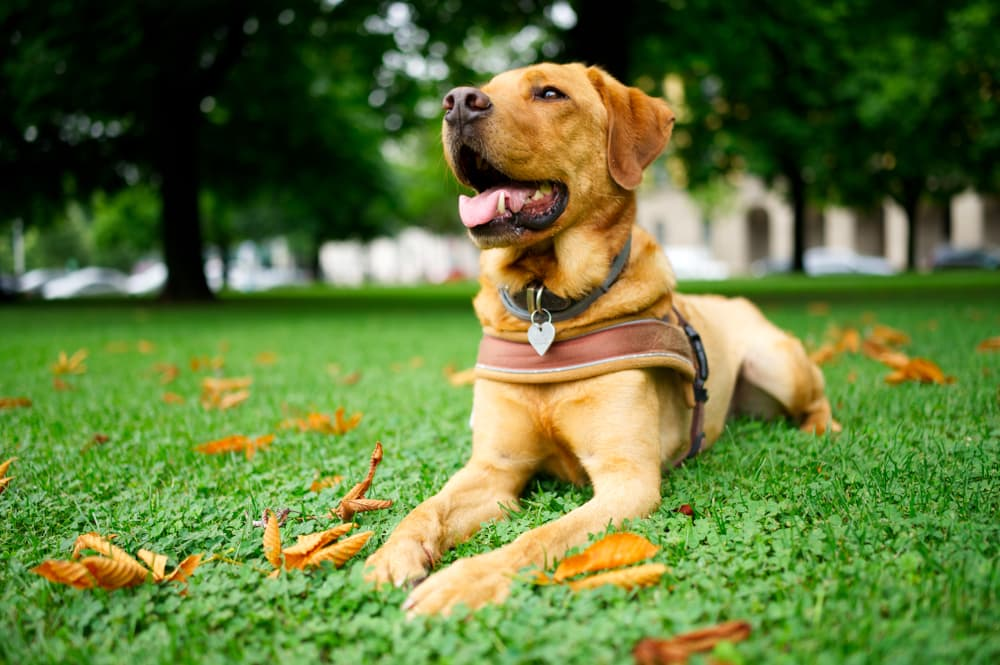 Dog lying in grass with harness on