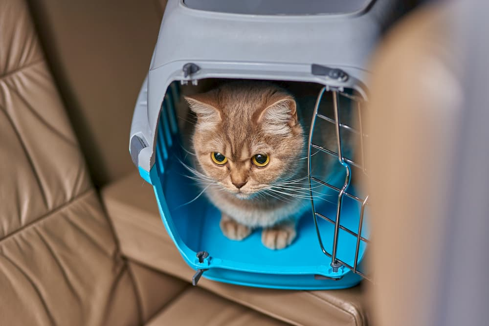 Cat sitting in backseat of car in a carrier