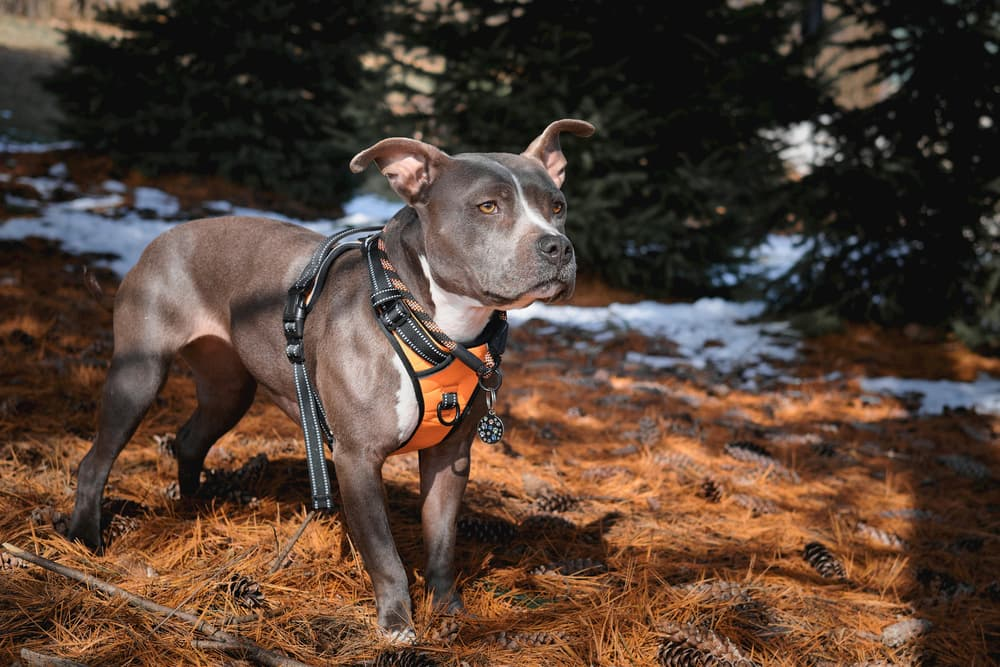 Pit bull outdoors wearing a harness
