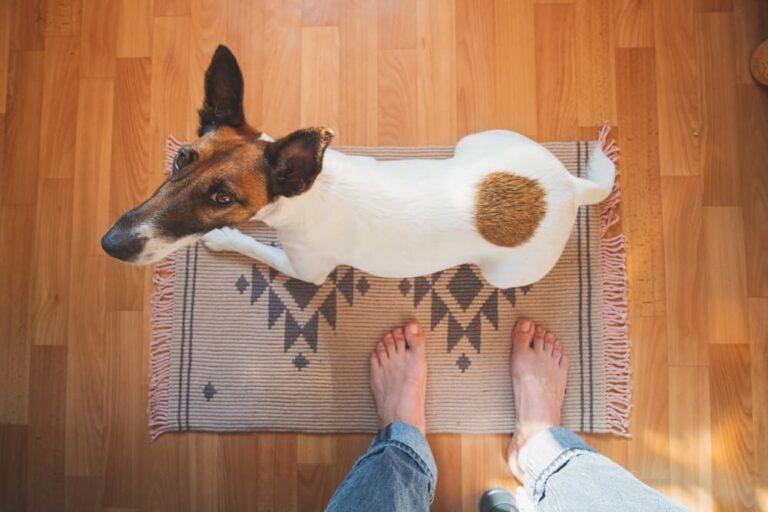 Dog looking up at owner on rug