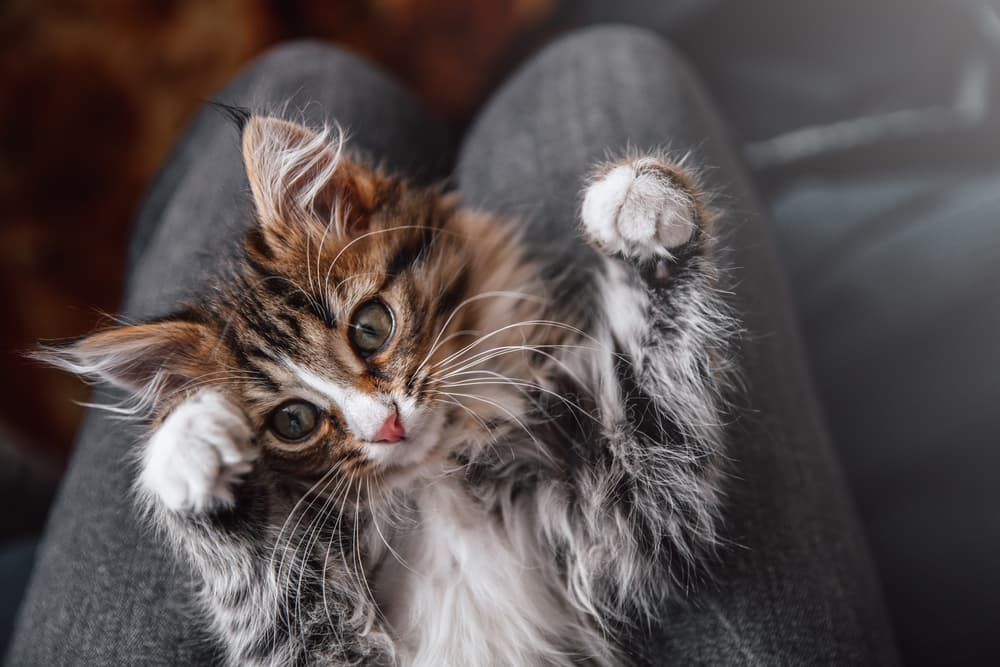 Kitten purring for attention