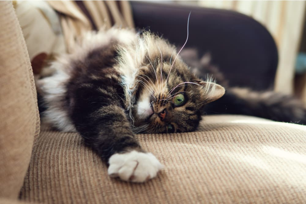 Cat stretching on couch