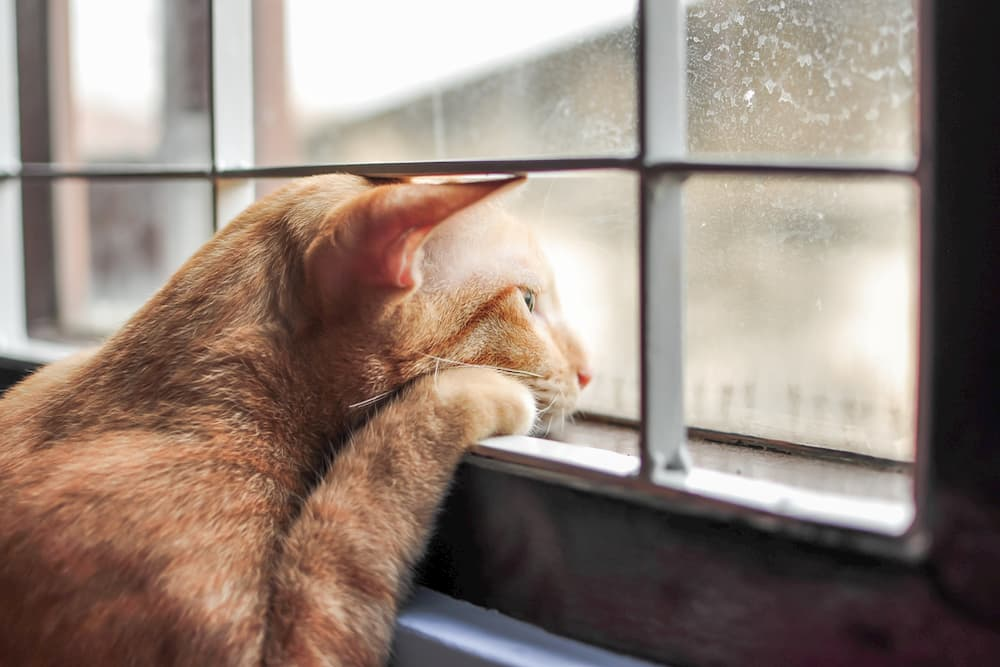 Cat looking sad out at a window
