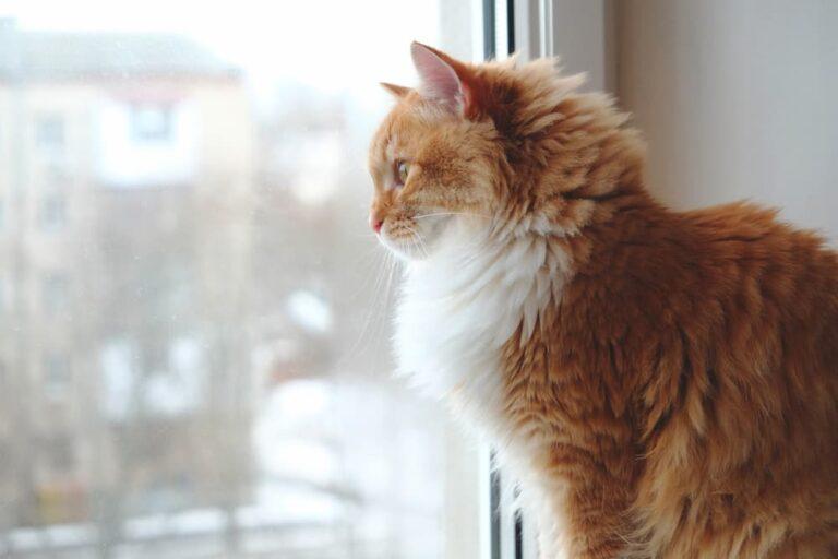 Cat looking outside a window by itself