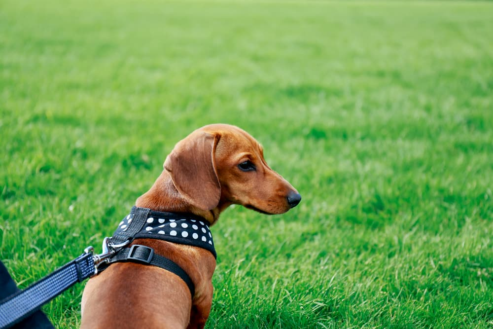Harness on a small puppy