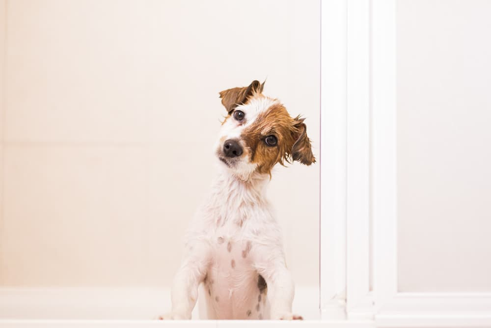 Dog sitting up in bathroom tub looking at owner