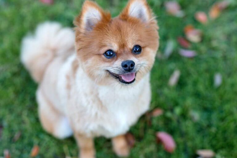 Pomeranian dog outside in yard