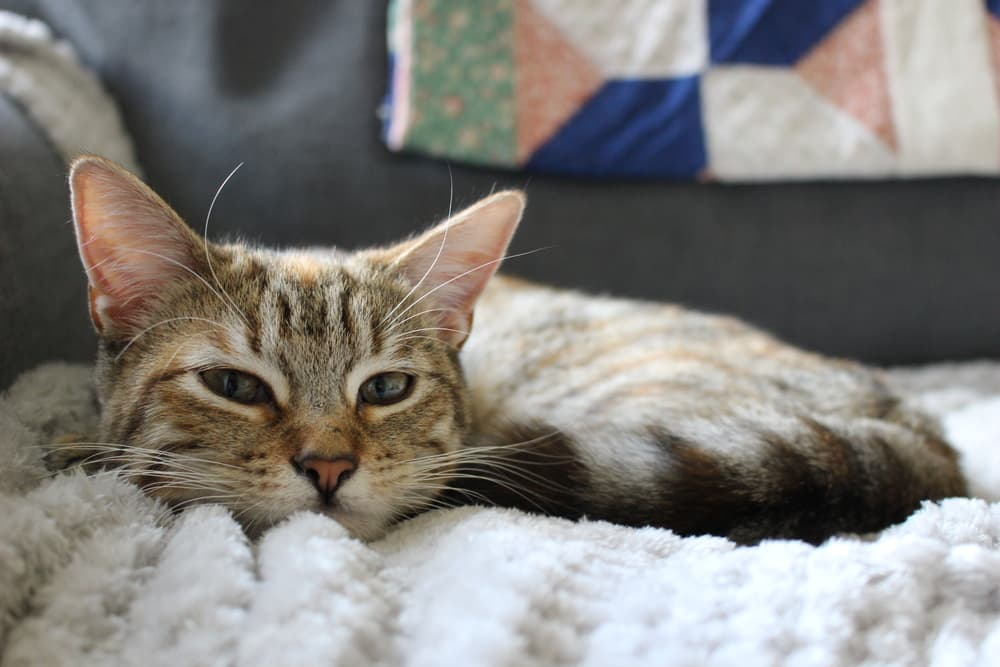 Cozy cat looking sad laying on a blanket on couch