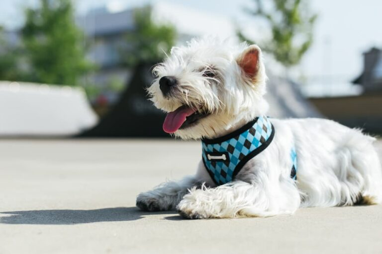 Westie laying down comfortably with harness