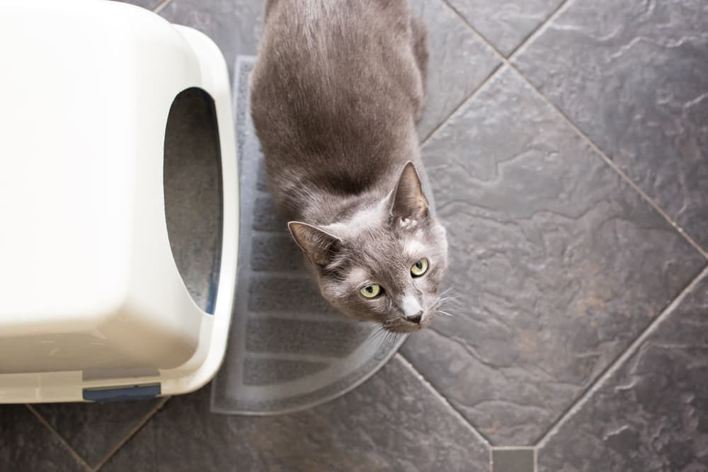 cat trying to use the litter box