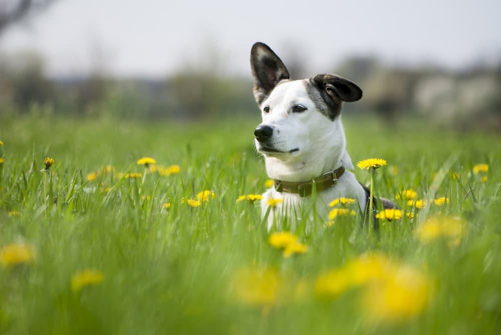 7 Voorjaarsgevaren voor Honden