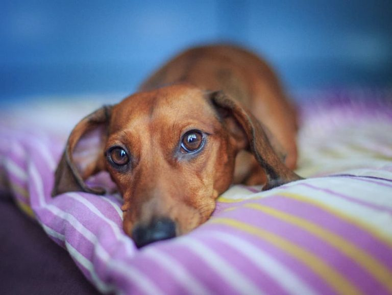 Dachshund with back pain