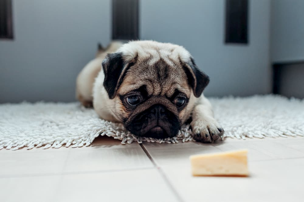 Dog looking at hunk of cheese on the floor