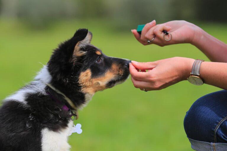 Woman training German Shepherd puppy