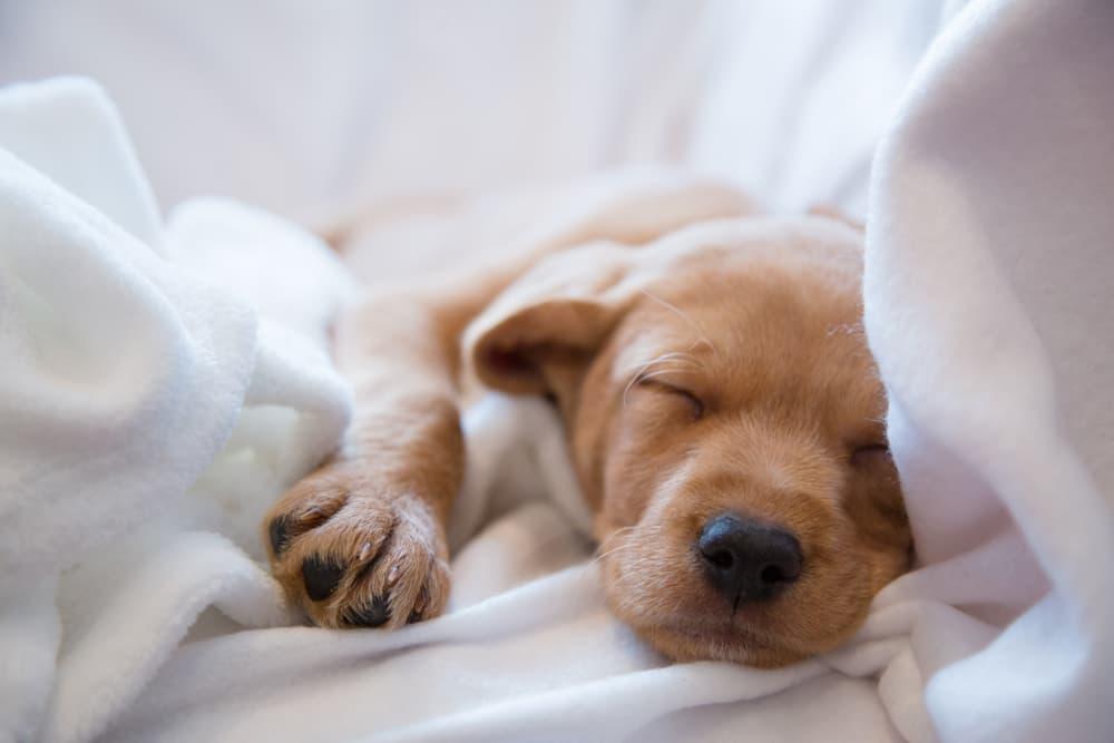 Cute puppy sleeping in sheets