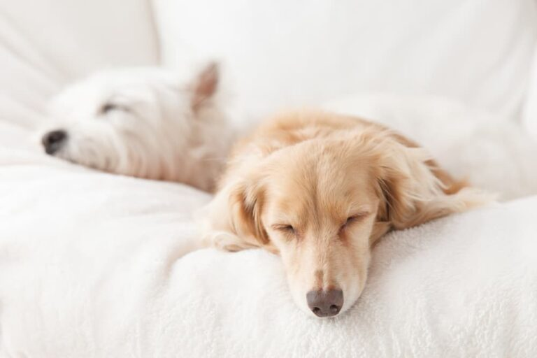 Two dogs sleeping on bed