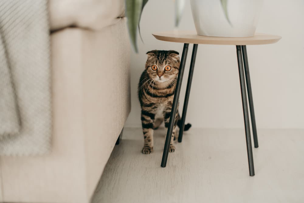 Cat hiding behind a table, scared in an apartment