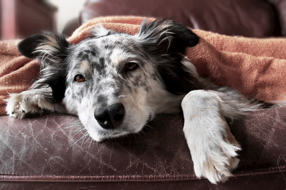 Dog feeling full and unwell on couch