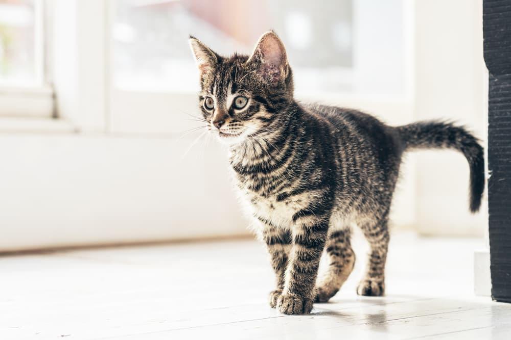 kitten roaming inside