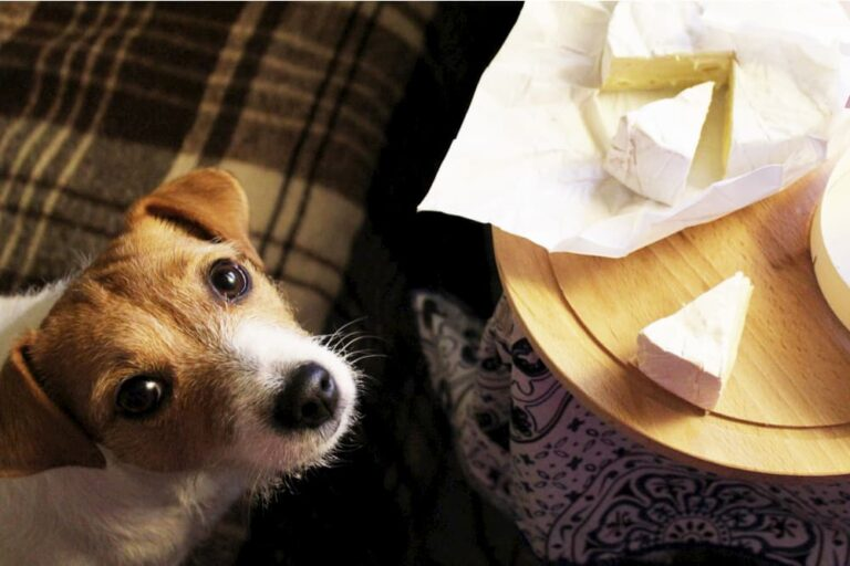 Dog begging for wedge of cheese