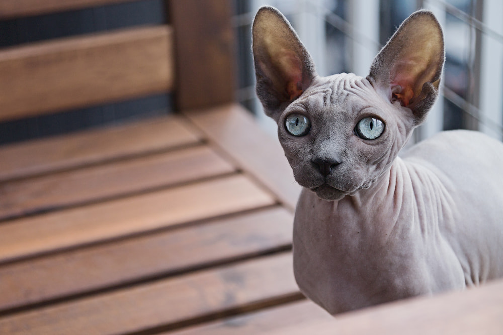 Hairless cat on wooden bench