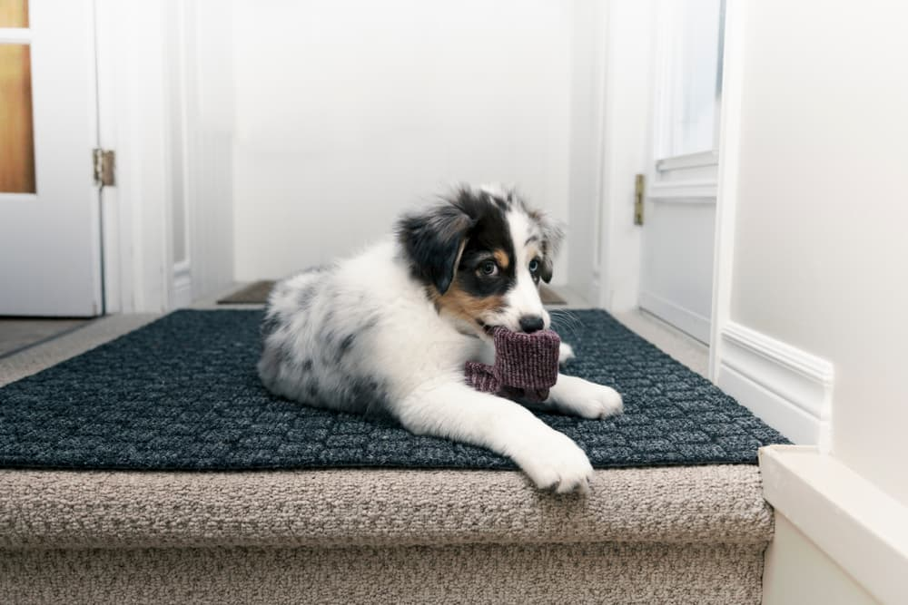 puppy chewing on sock