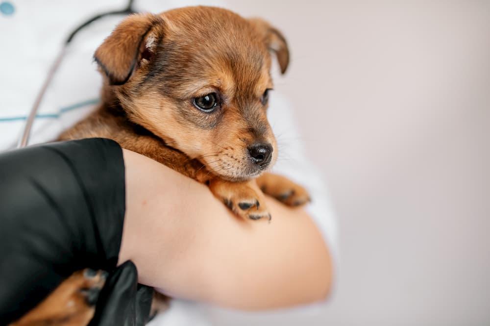 Êtes-vous prêt pour la première visite de votre chiot chez le vétérinaire ?