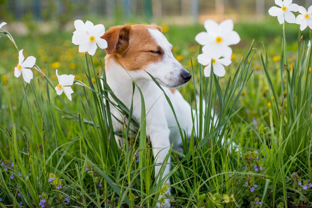 Quercetin for Dogs: Uses and Benefits