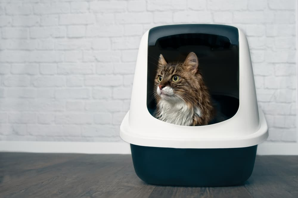 Cat in covered litter box