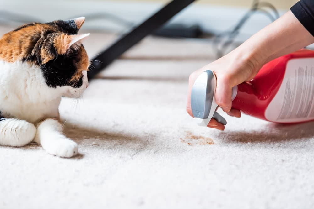 woman cleaning cat urine from carpet