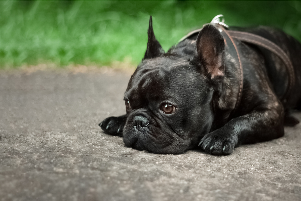 Dog laying on the ground looking sad
