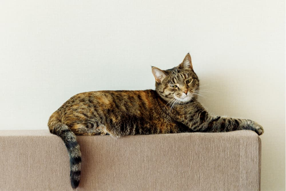Cat flicking tail on top of sofa