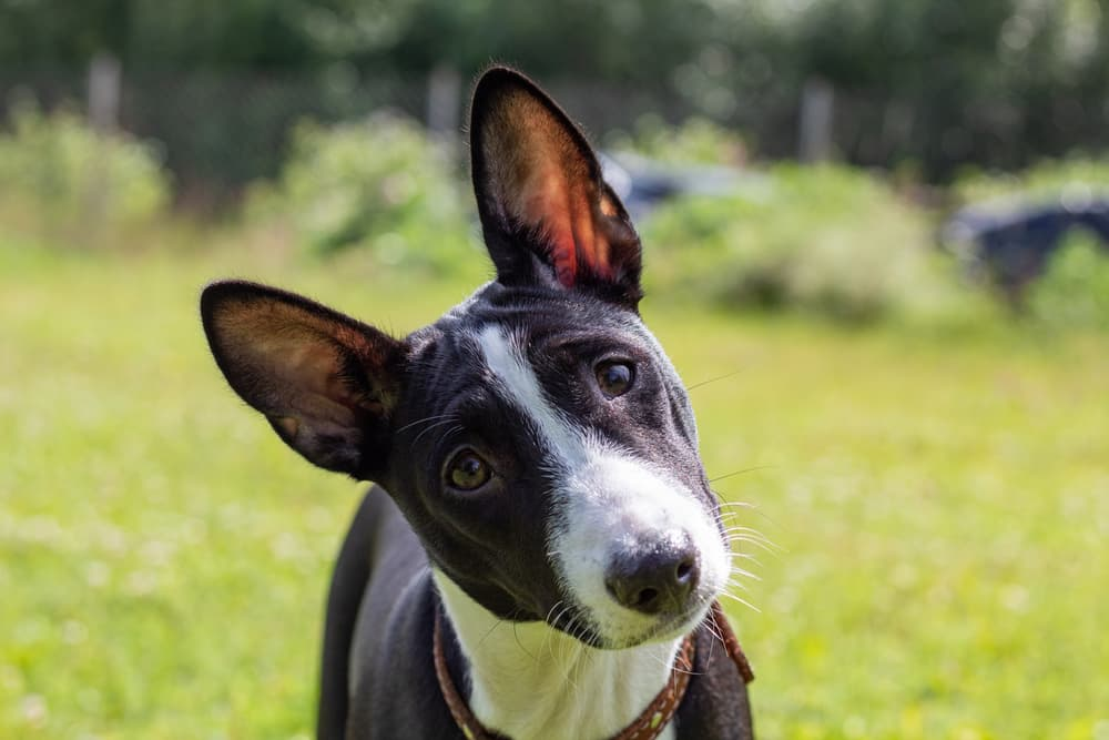 Basenji puppy with head tilted looking at owner