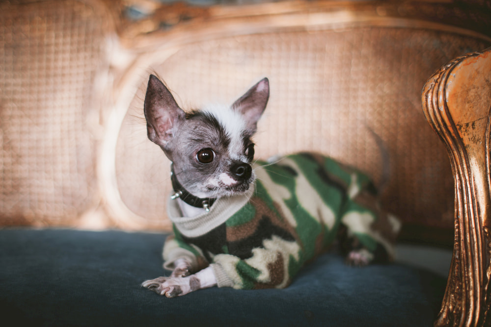 Chihuahua wearing a spiked collar