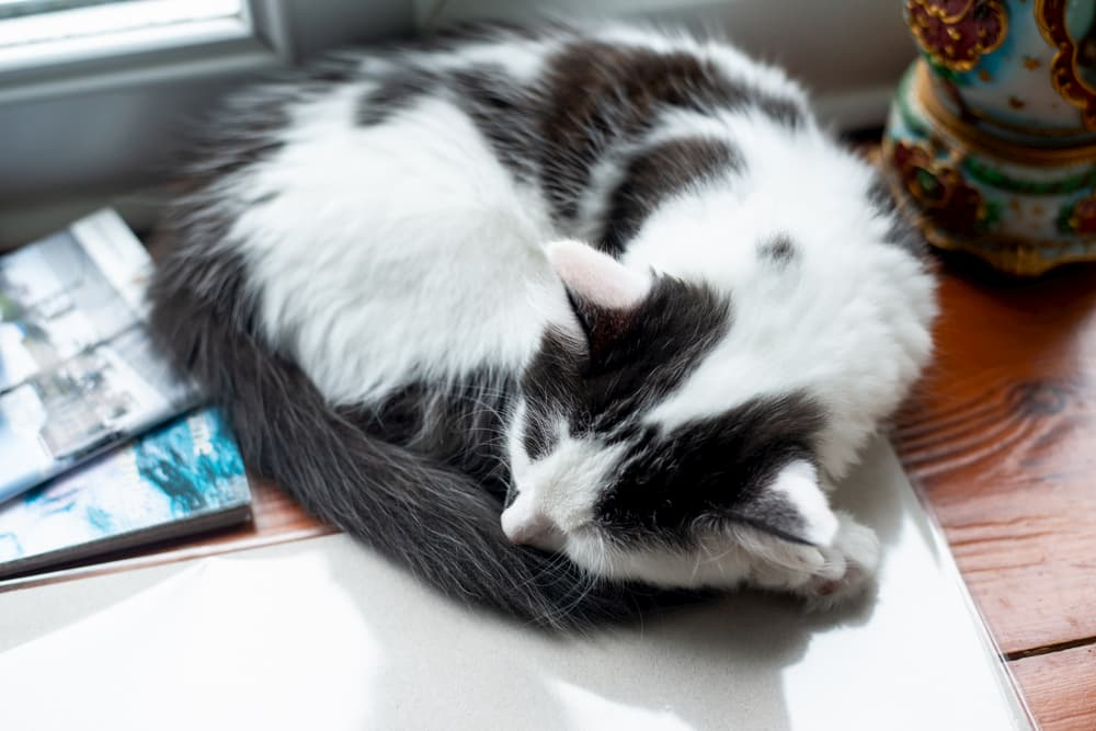 Cat sleeping with its tail wrapped around itself