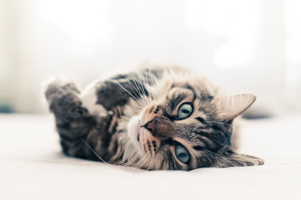 Cat Trilling: Why They Do It and What It Means