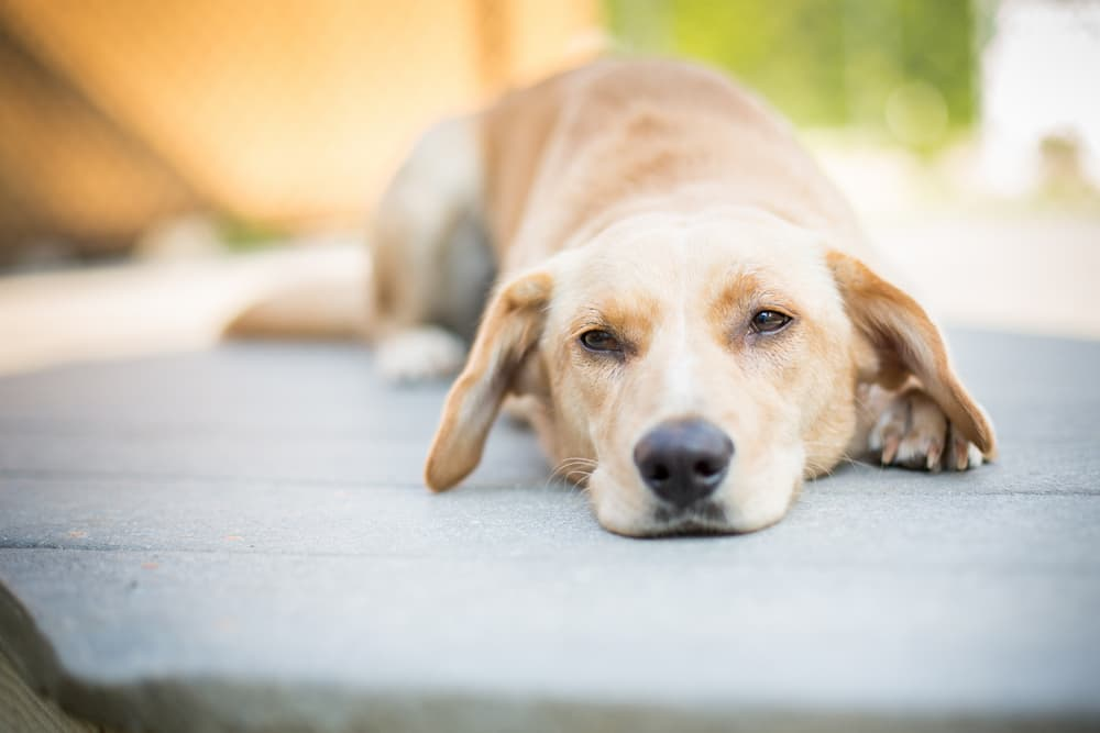 Dog laying down on ground looking sad