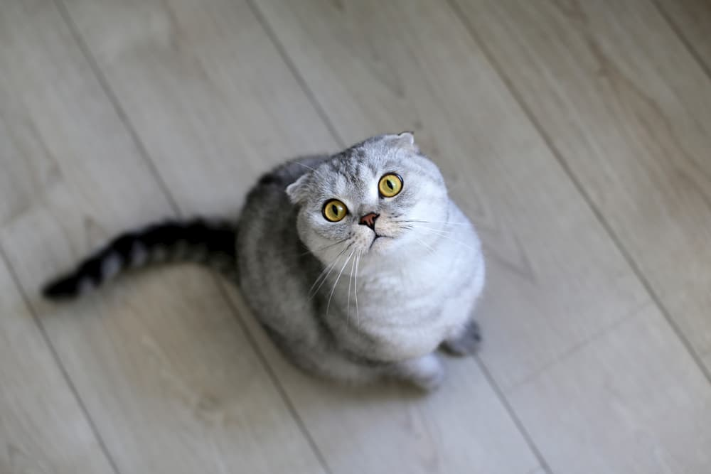 Cat looking up a little scared to owner