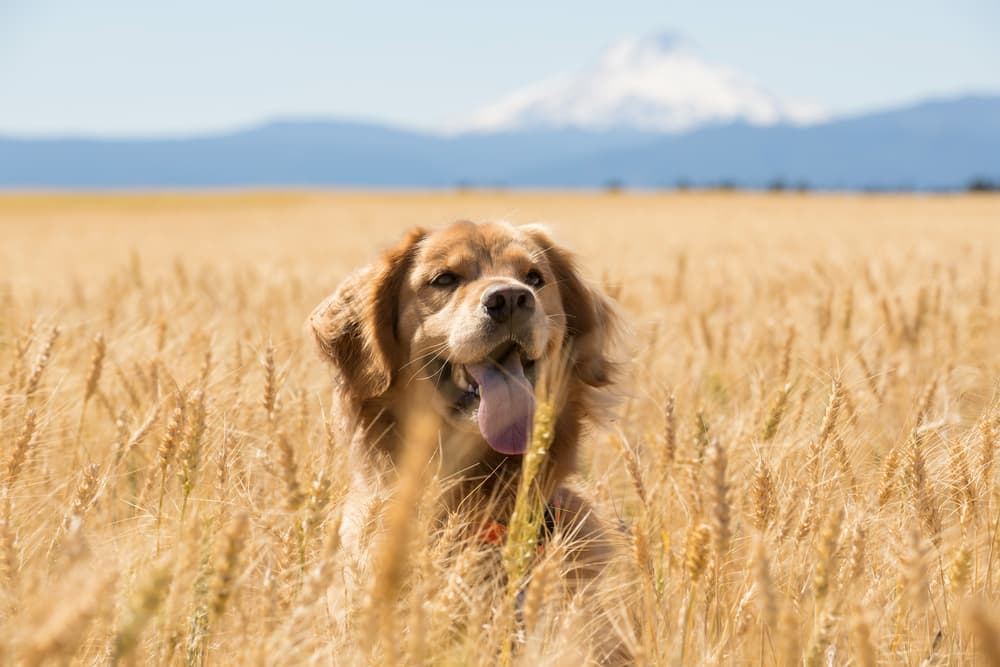 Golden retreiever in a wheat field