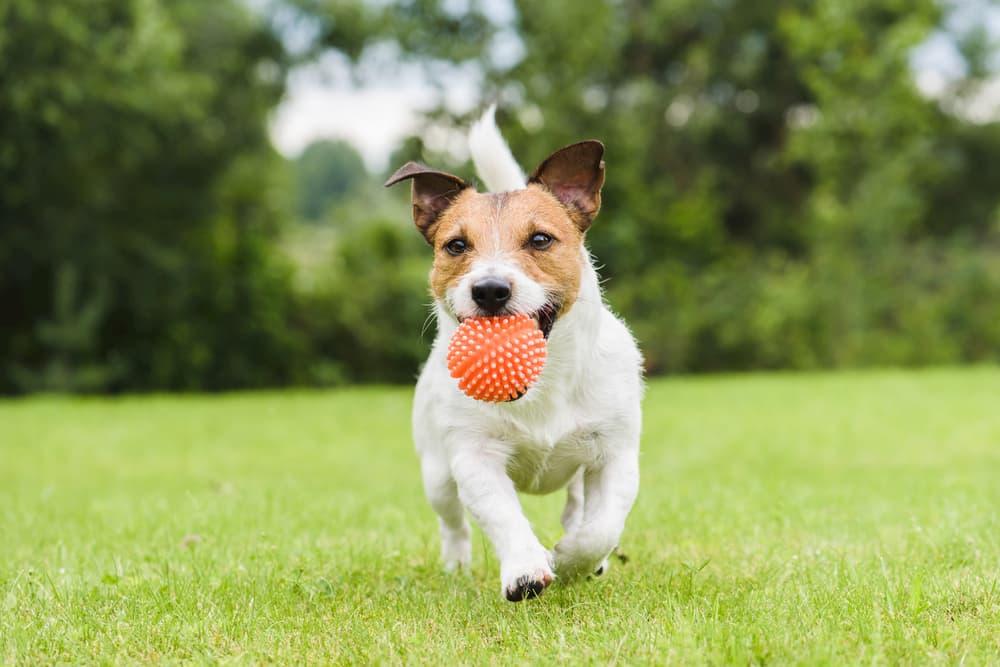 Dog running with a bright orange ball