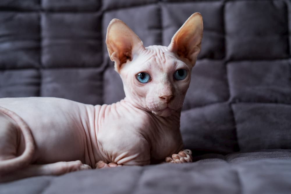 Hairless cat on bed