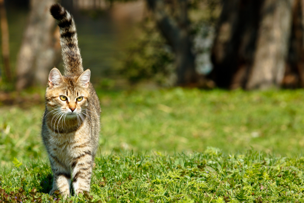 Cat walking outside with tail straight up