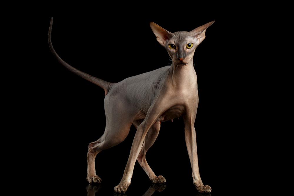 Peterbarld cat breed