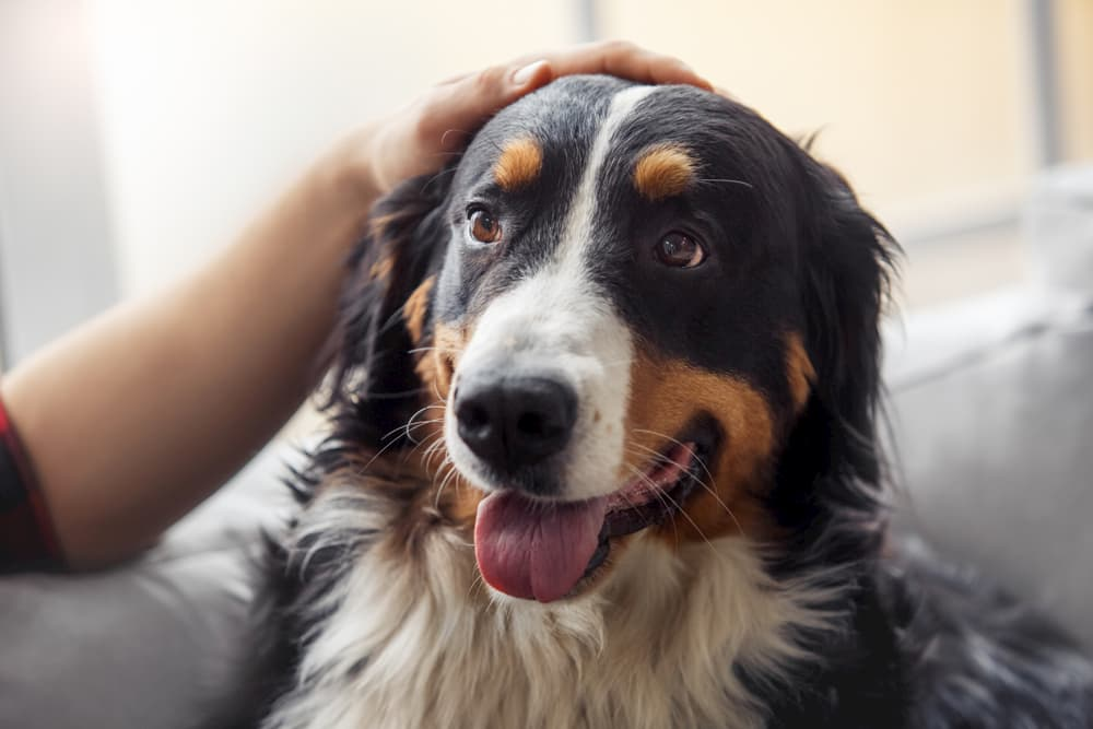 Happy dog at home with owner
