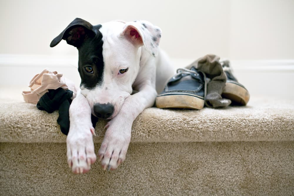 Comment empêcher votre chien de mâchouiller tout ce qu'il trouve ?