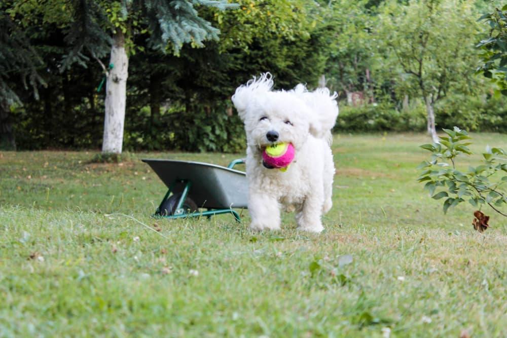 Bichon Frise running in grass