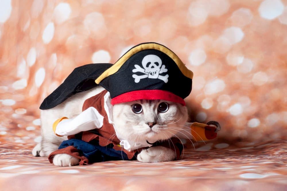 Cat dressed up in a pirate costume